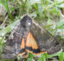 gallery/large yellow underwing 1 130626