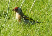 gallery/goldfinch 1 160524