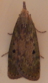 gallery/brown house moth 140608