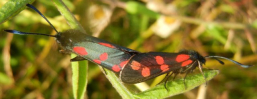 gallery/six spot burnet mating 130720