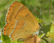 gallery/brown hairstreak 150908