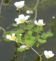 gallery/water crowfoot 130512