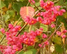 gallery/spindle berry 161026