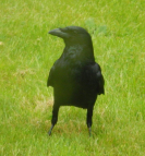 gallery/carrion crow 1 160521
