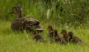 gallery/160610 ducks 2