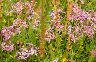 gallery/160604 ragged robin