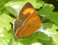 gallery/brown hairstreak 160805