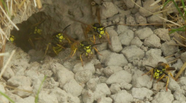 gallery/wasp nest 1 130813