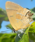 gallery/brown hairstreak 150908 a