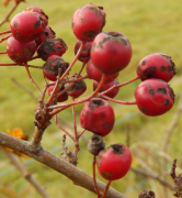 gallery/hawthorn berry 161026