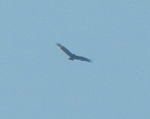 gallery/red kite 1 160528